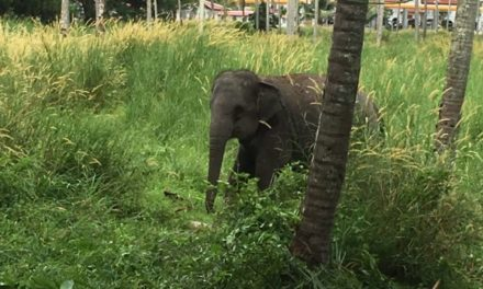 Elephant attacks Australian man on Phuket, Thailand