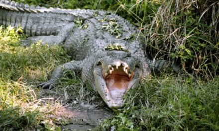 Facebook leads authorities to crocodile hunters