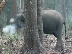 Smoking elephant in India baffles experts