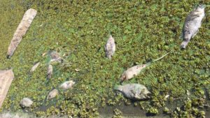 700 kilograms of dead fish in Brisbane Lake