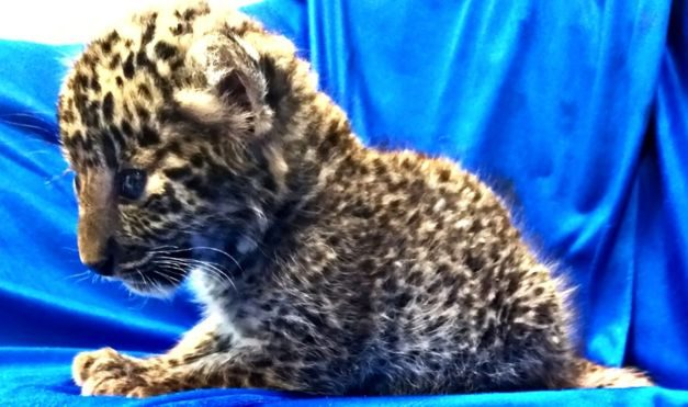Leopard cub found in passenger's luggage at Indian airport