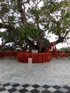 Peepal tree at Mansa Devi temple, Chandigarh Courtesy WikiMedia Commons