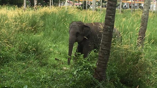 Elephant attacks Australian man on Phuket, Thailand