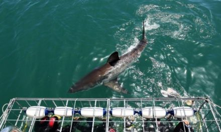 Why the Jaws shark is not a 'man-eating monster'